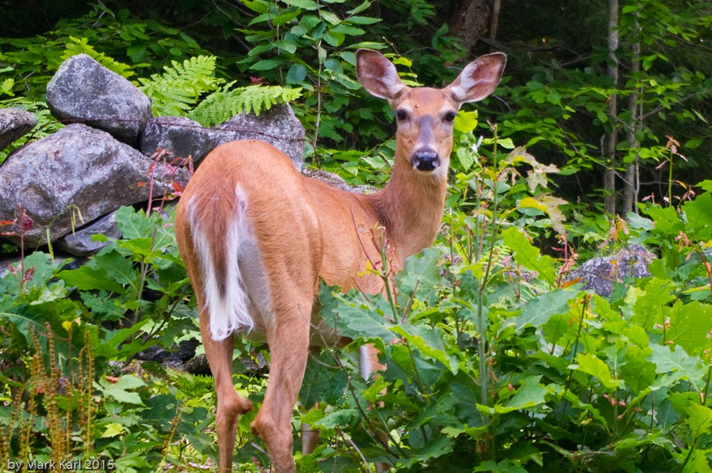 Whitetail Deer in Hanover, NH July 2015