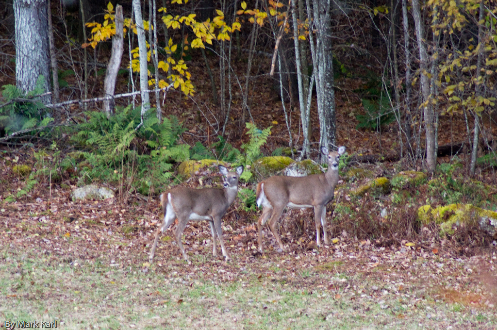 Whitetail Deer, Hanover, NH 2012